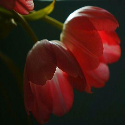 Tullpaner Love Spring Flower