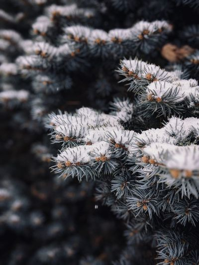 snow on a fir tree EyeEm Selects Winter Pinaceae Cold Temperature Pine Tree Snow Spruce Tree Nature Close-up Christmas Tree Tree Needle - Plant Part Fir Tree Frozen Snowflake Christmas Day Outdoors Branch Plant