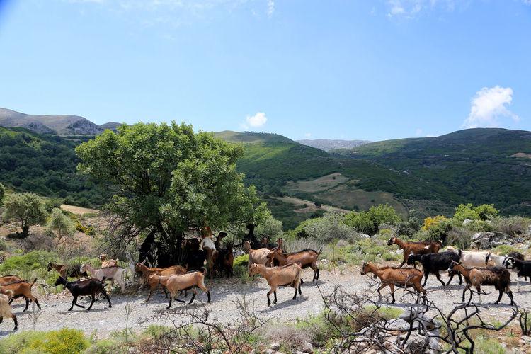 Herd of goats on landscape against sky