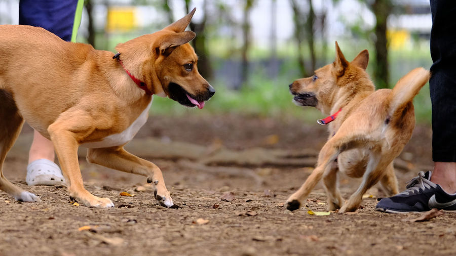Dogs fighting on ground