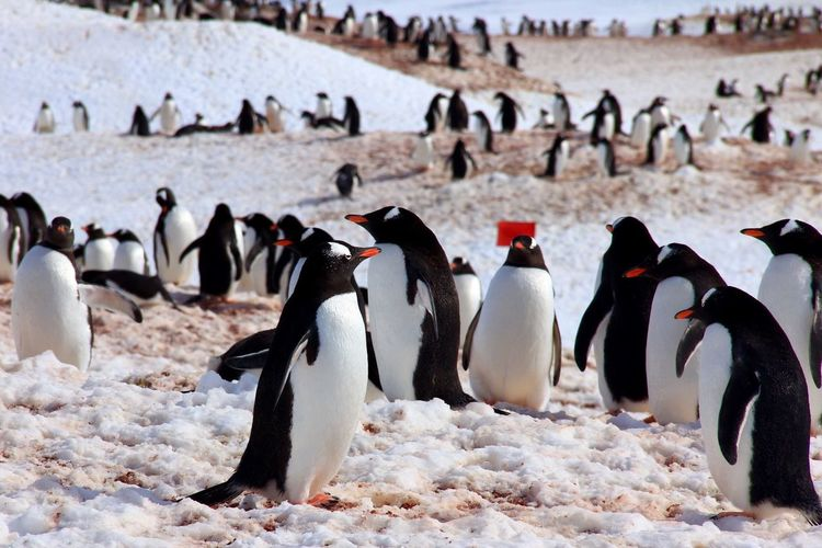 Penguins walking on snow covered landscape