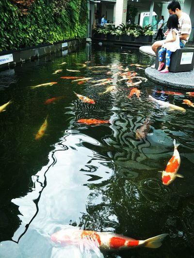 daddy daddy u are too slow let me feed the fishes! 😂 Pet Therapy Therapy Therapeutic Fish Food Pool Colorful Water Full Length Reflection Men Koi Carp School Of Fish Fishes Carp Pond Fish EyeEmNewHere