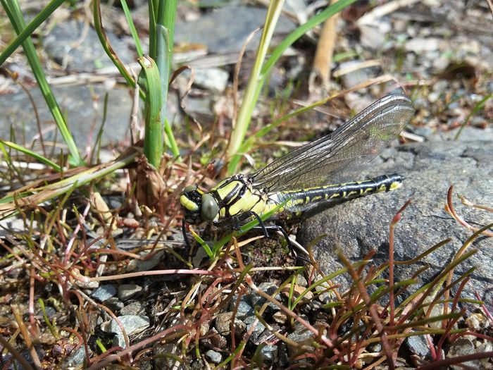 Animals In The Wild One Animal Animal Themes Animal Wildlife Day Nature No People Outdoors Close-up Plant Grass Dragonfly Insect Ophiogomphus Cecilia