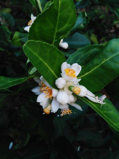 ดอกมะนาว Leaf Nature Growth Plant Beauty In Nature Green Color No People Close-up Outdoors Day Tree Freshness