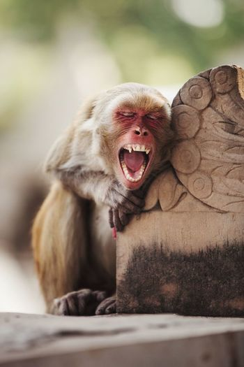 Close-up of monkey yawning while sitting outdoors