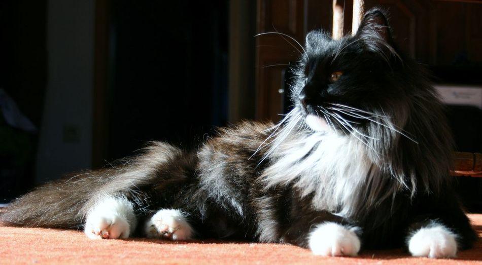 Norwegian Forestcat  Best Friend Black Smoke Kitty Blackandwhite Domestic Animals Domestic Cat Relax Stay Cool
