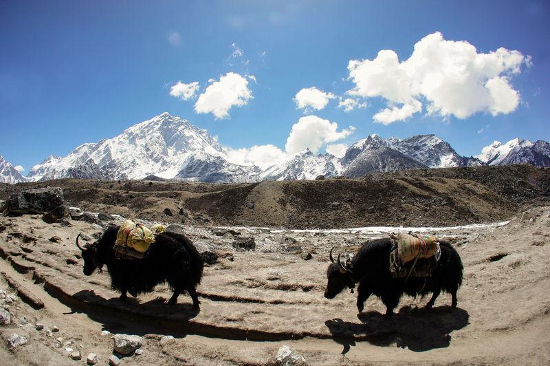The Human Condition Everest Region Lobuche Khumbu Yak Mountains Life Everesttrail