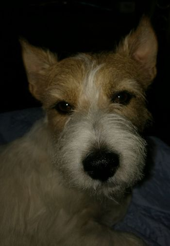 Jack Russell dog cane