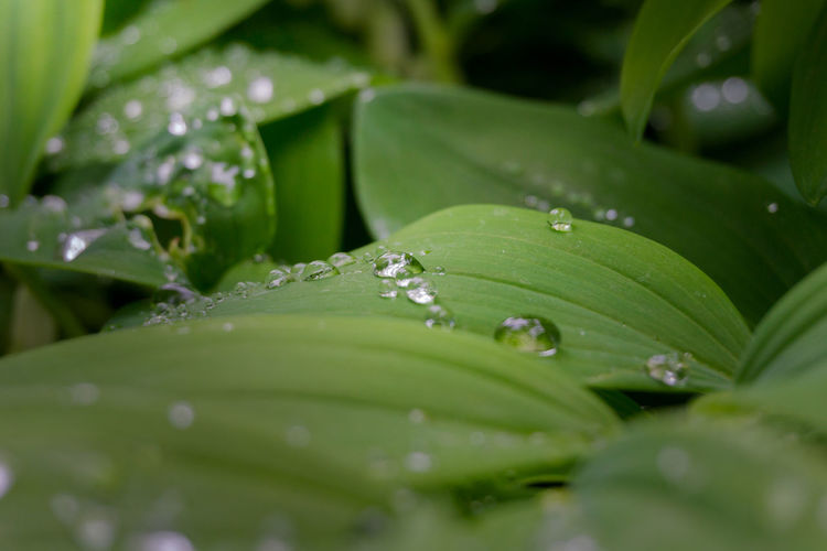 Dew drops on green leaves Background Blades Of Grass Close-up Dew Dew Drops Dewdrops Drops Fragile Fragility Freshness Green Growing Growth Leaf Leaves Morning Light Outdoor Peaceful Plants Rain Drops Raindrops Rainy Day Silence Water Drops
