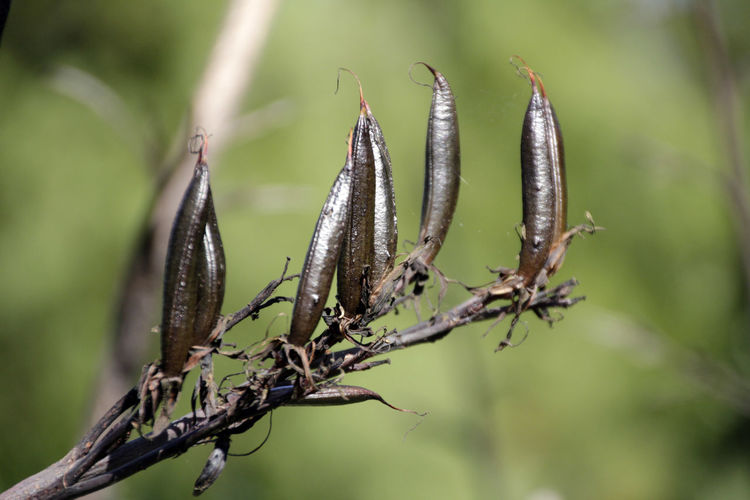 New Zealand flax seed pods New Zealand Flax Phormium Tenax Plant Life Cycle Beauty In Nature Close-up Day Focus On Foreground Growth Nature No People Outdoors Plant Seed Pod