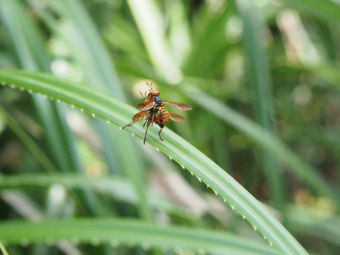 Two Wasps Mating at Cape Maeda Animal Themes Animal Wildlife Animals In The Wild Beauty In Nature Cape Maeda Close-up Day Grass Green Color Growth Insect Insects  Mating Nature No People OKINAWA, JAPAN One Animal Outdoors Plant Wasp 真栄田岬
