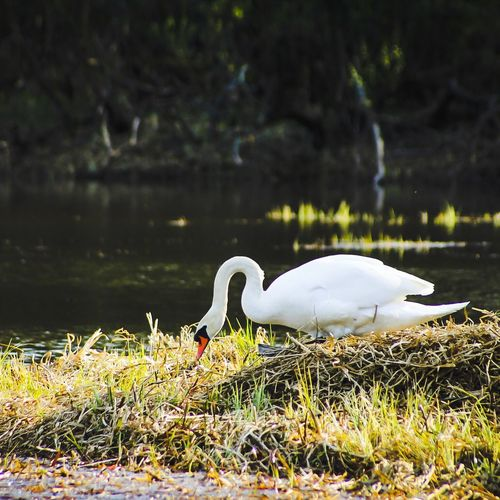 Swan lake. EyeEm Swan Lake Europe Sweden Animal Birds EyeEm Gallery Beautiful Photo Photography World Hello World OpenEdit Nature Earth Photooftheday
