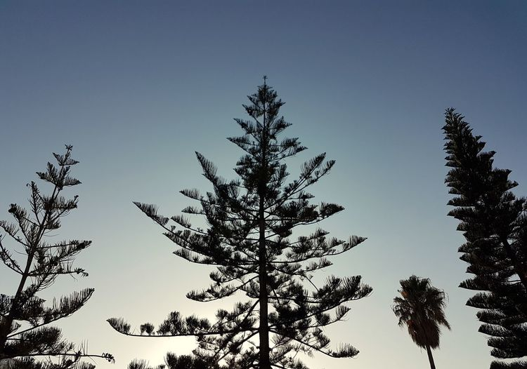 Silhouette Tree Nature Sky Pinaceae Pine Tree No People Day Outdoors Forest Low Angle View Perspective Beautiful Personal Perspective Blue Sky Nature Tranquility Minimal Minimalism Relaxation Blue SummerLeaf Beauty In Nature Tree Area Perspectives On Nature