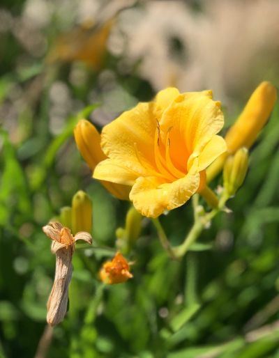 Flower Flowering Plant Plant Fragility Petal Growth Vulnerability  Flower Head Freshness Beauty In Nature Close-up Focus On Foreground Inflorescence Yellow Nature Day