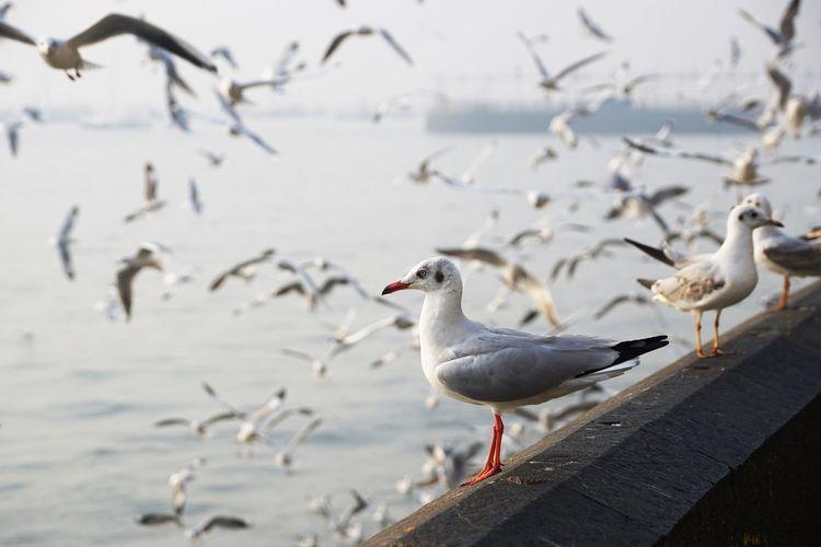 Sea Water Nature Animal Bird Day Seagull Flock Of Birds No People Animals In The Wild Sea Bird Group Of Animals Animal Themes Animal Wildlife Vertebrate Large Group Of Animals Sea Bird In Flight Seagulls Seagulls And Sea