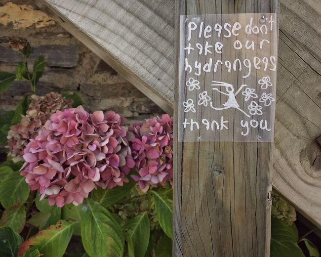 Flower Text Pink Color Freshness Day No People Close-up Outdoors Plant Beauty In Nature Nature Hydrangea Flower Hydrangea No Stealing Hand Written Sign