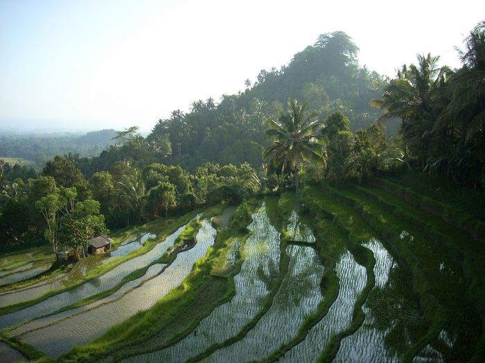 Rice terrace in Bali Ubud Agriculture Agriculture Photography Bali Beauty In Nature Blue Sky And Clouds Clear Sky Eco Eco Tourism EyeEmbestshots Farm Grass Green Growth Landscape Nature No People Outdoors Palm Tree Rice Field Sky Terrace Field Toursim Tree Water Water Reflections
