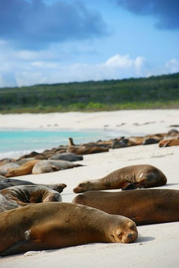 Sea lions resting on beach in galapagos islands