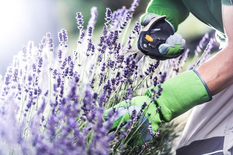 Close-up of human hand cutting purple flowering plants