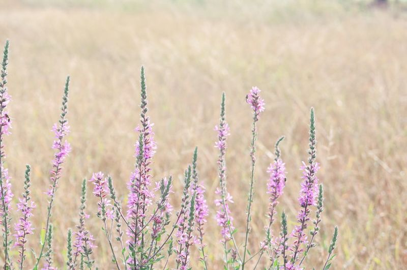 Lythrum salicaria.The flowers are reddish purple Lythrum Salicaria Purple Reddish Flower Flower Head Perfume Pastel Colored Tree Rural Scene Beauty Summer Springtime Pink Color Lavender Colored Plant Life Homeopathic Medicine Flowering Plant Aromatherapy Botany Lilac In Bloom