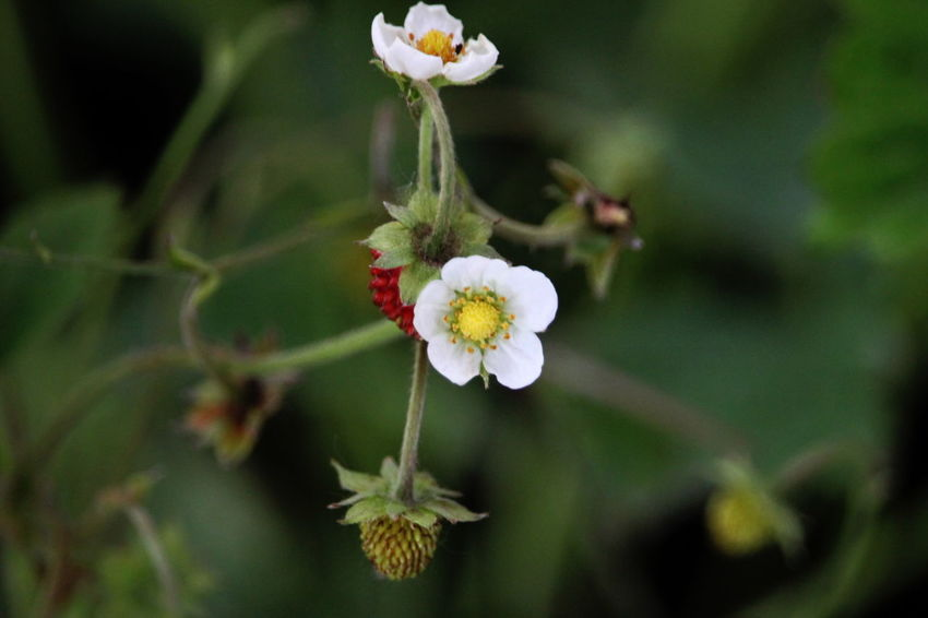Blooming Close-up Day Flower Flower Head Growth May 2017 Milano Nature No People On My Balcony Outdoors Petal Plant Wild Strawberries
