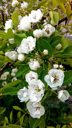 Nature No People Beauty In Nature Flower Day Spring Blossoming  Blossom Flora White Flowers весна цветение красота белые цветы Природа природа весной