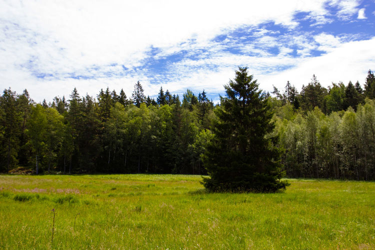Scenic view of pine trees on field against sky