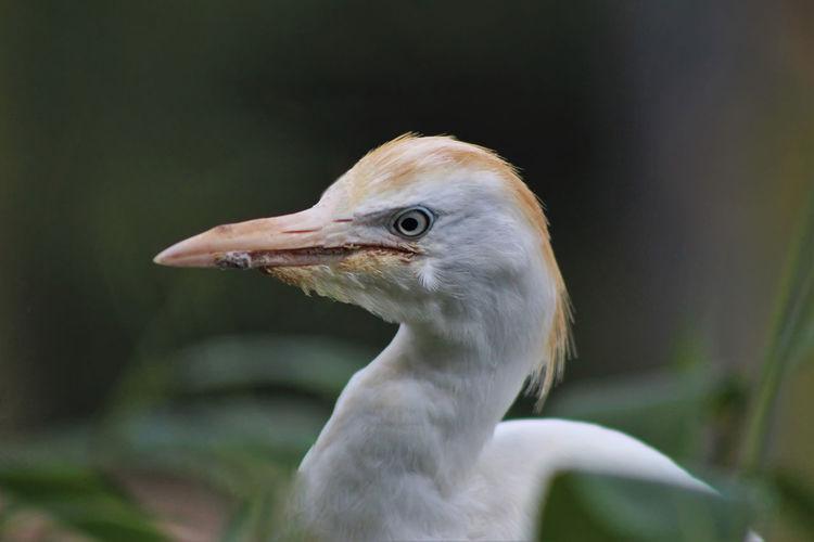 Close-Up Of White Heron