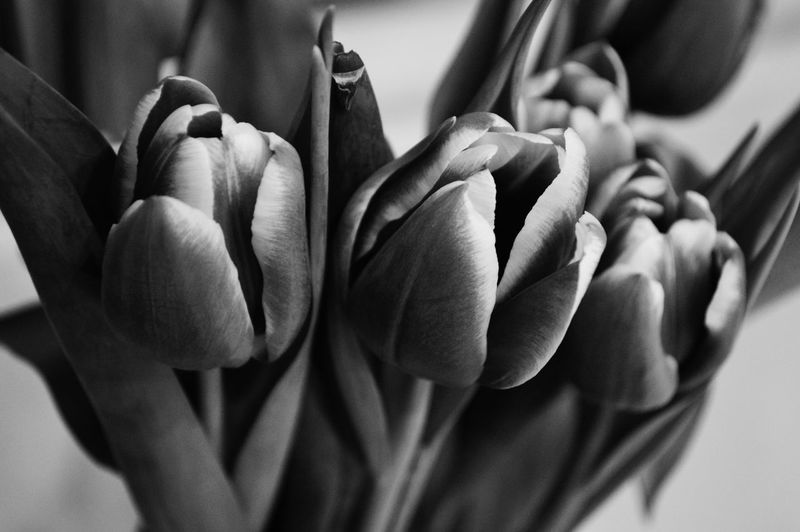 Tulip Blackandwhite Black And White Beauty In Nature Nature Blackandwhite Photography Monochrome Monochrome _ Collection Monochrome_life Flower Full Frame Close-up Blooming Flower Head In Bloom Petal Fragility Passion Flower Plant Life My Best Photo