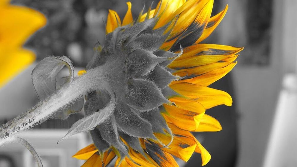 Check This Out For Once Taking Photos Love Therapie❤️ Beauty In Nature Own Style  Eyem Nature Lover EyeEm Gallery Lily From My Point Of View Belgium Nature Lilymayparker.blogspot.be Lily May Parker Lily May Art Lily Style Sunflower Plant Sunflower🌻 Sunflower Beautiful Yellowmagic Yellow