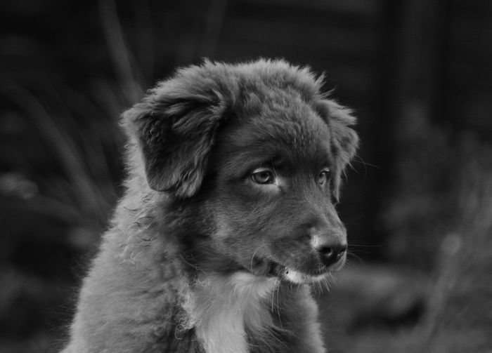 Animal Animal Body Part Animal Hair Animal Head  Animal Themes Aussie Puppy Aussie Welpe Australian Shepherd Puppy Close-up Day Focus On Foreground Mammal Nature No People Outdoors Part Of Portrait Selective Focus Snout