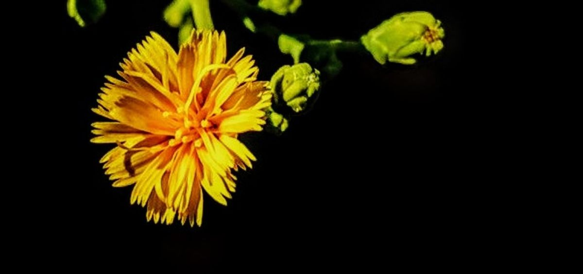 Lettuce Flower Flower Yellow Petal Black Background Flower Head Freshness Close-up No People Plant The Week On EyeEm Paint The Town Yellow Flower Photography EyeEm Flowers Collection