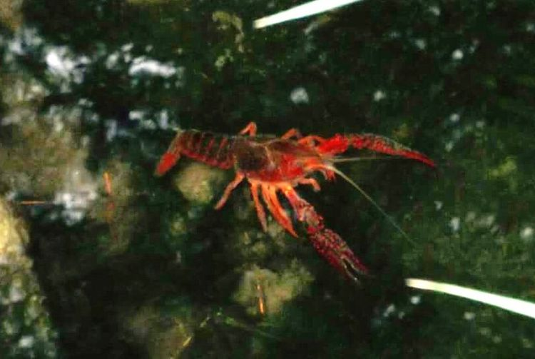 Scorpion In Water Pond Life Red Outdoor Salou Park Nature Animals In The Wild Lobsters Colour Of Life Ice Age Ice Age ❄
