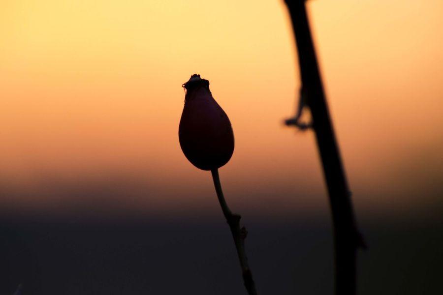 Calmness EyeEmNewHere Sweet Briar Beauty In Nature Close-up Day Flower Head Fragility Freshness Nature Outdoors Pink Blue Sky Silhouette Sunset Eglantine Eglantine Rose Dog Rose