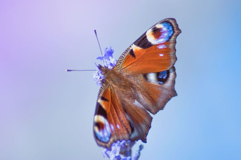 Neon Life One Animal Butterfly - Insect Animal Themes Insect Animals In The Wild Butterfly Wildlife No People Animal Wildlife Close-up Animal Markings White Background Nature Fragility Outdoors Beauty In Nature Spread Wings Day Perching