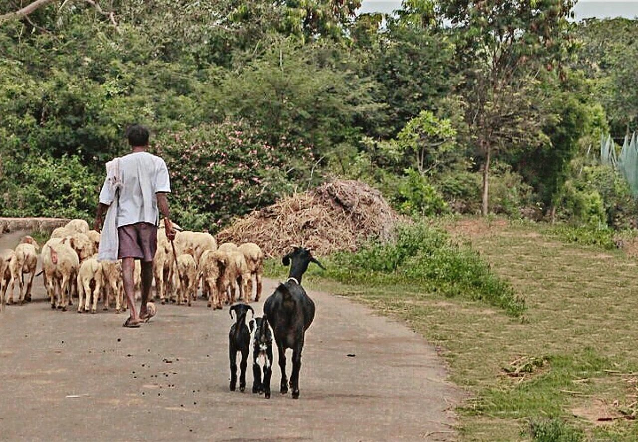 rear view, domestic animals, tree, livestock, agriculture, one person, mammal, men, road, one man only, real people, outdoors, full length, adult, large group of animals, rural scene, adults only, only men, nature, farmer, people, day