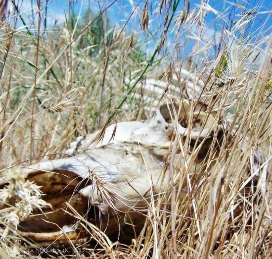 Deer who didn't fair well in Idaho. EyeEmNewHere Nature Field Outdoors Grass Close-up Deer Skull