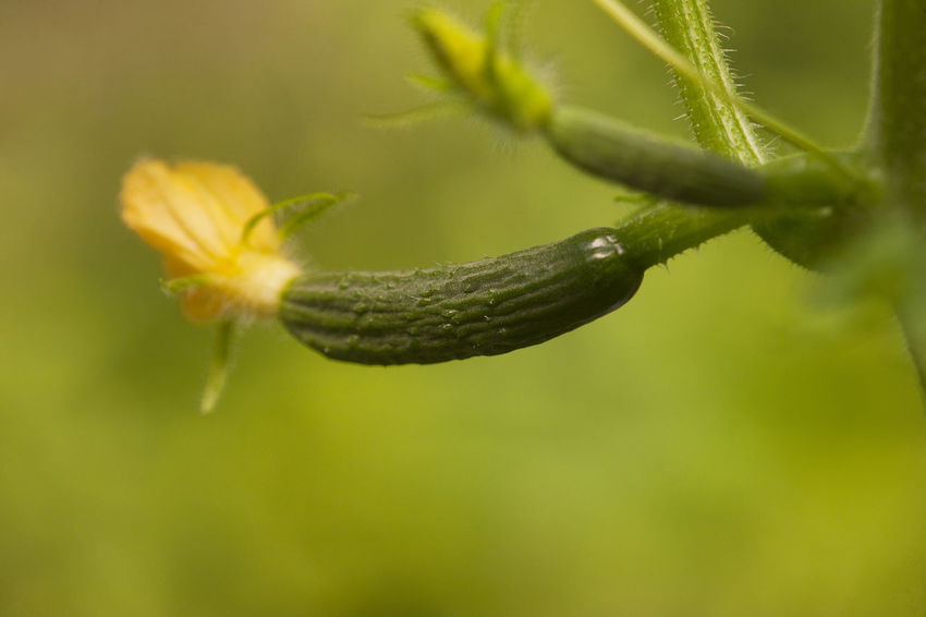 cucumber Animal Themes Animal Wildlife Beauty In Nature Close-up Cucumber Cucumber Plant Day Flower Fragility Growth Gurke Insect Nature No People One Animal Outdoors Plant