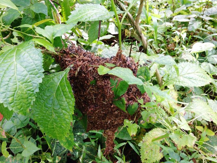 Anthill Sarang Semut Leaf Ant Home Nest Insect Bug Green Color Green Nature Wildlife Wild Life Colony Colony Of Ants Anthill