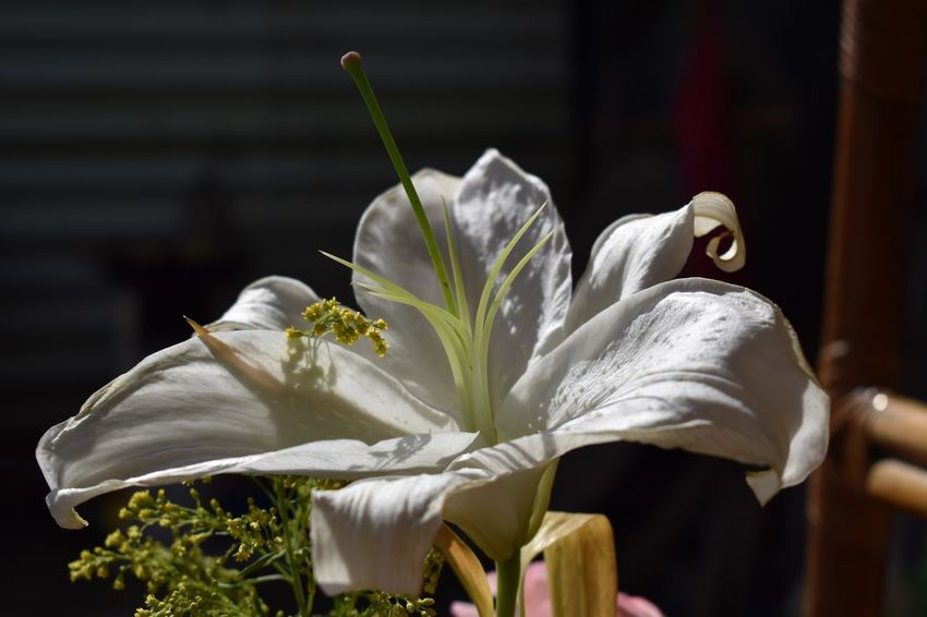 Me gusta la gente que vibra Spring Nikond5600 Casablanca Florecitas_mx Flower Plant Flower Flowering Plant Growth Beauty In Nature Close-up Focus On Foreground Vulnerability  No People Fragility Nature Freshness Flower Head Petal Inflorescence White Color Day Plant Stem Outdoors Sunlight
