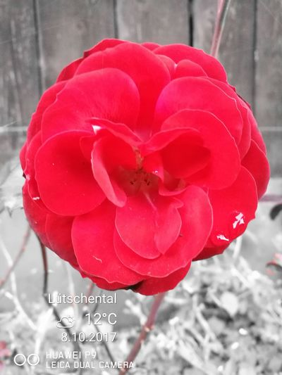 Trotzt des kühlen wetters blüht eine schöne rose🌹 . Wetters Blüht Rose🌹 Flower Red Beauty In Nature Outdoors Leicalens HuaweiP9 Fragility Nature Flower Head