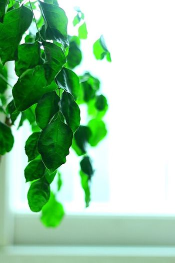 Leaf Plant Growth Nature Green Color Bright Beauty In Nature No People Close-up Freshness White Background Scented Day Fragility Indoors  I Want To Know Your Secret, C I Always Thinking About U, G Thank You,❤️ 감사합니다