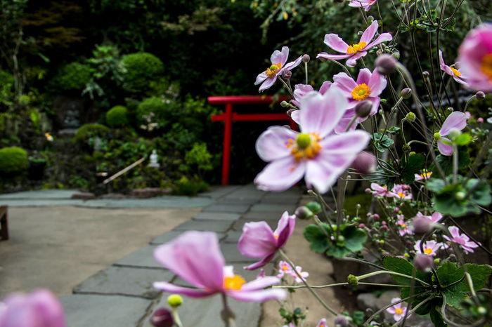 Japanese Temple TORII Torii Gate Flower Flowers Focus Focus On Foreground Petal Plant