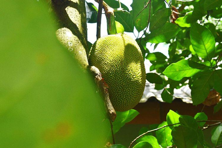 ผีขนุน #krabi #Thailand #Phuket Phuket,Thailand Leaf Fruit Close-up Plant Green Color