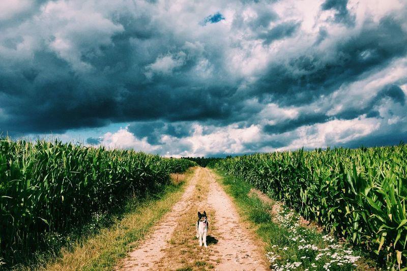 Dog On Tracks Along Countryside Landscape