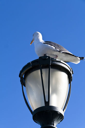 Low angle view of seagull on gas light against clear blue sky