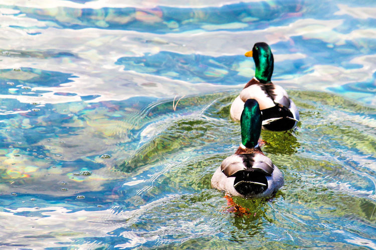a pair of a ducks Love Love Animals Lovely Animals In Love Bird Water Multi Colored Close-up Duck Mandarin Duck Floating In Water Swimming Animal Wild Animal Freshwater Bird Duckling Swimming
