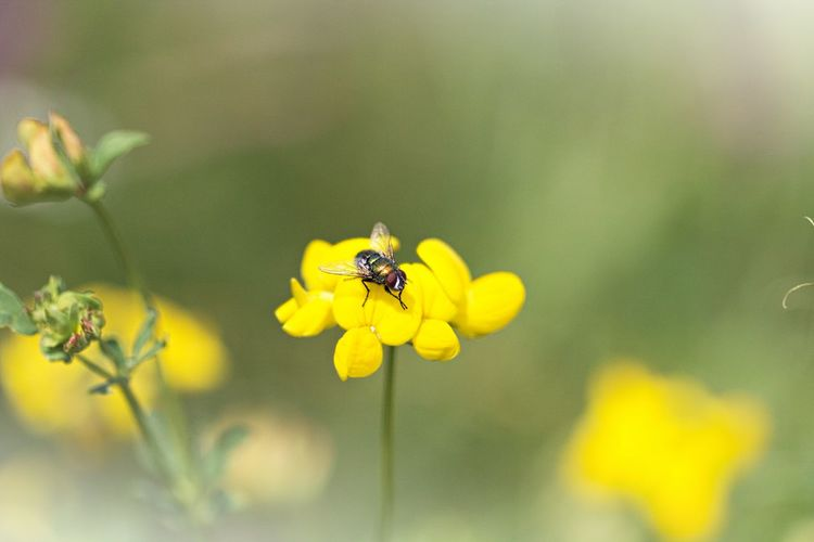 Flower Insect Animal Animal Themes Vulnerability  One Animal Yellow Animal Wildlife Animals In The Wild Beauty In Nature Petal Plant Close-up Freshness Flower Head Growth Fragility Meadow Meadow Flowers Flowers, Nature And Beauty Flower Photography Flower Collection Natural Beauty Beautiful Nature Nature Collection Nature Photography Bokeh Lovely First Eyeem Photo Fly Beauty In Ordinary Things Naturelovers Yellow Flower Insect Paparazzi Insect Photography Flowering Plant