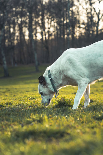 Beautiful white dog on a meadow in a public park on a sunny day. Animal Themes Animal Mammal One Animal Domestic Animals Domestic Plant Pets Grass Vertebrate Land Field Dog Canine Tree No People Nature Selective Focus Day Standing Outdoors