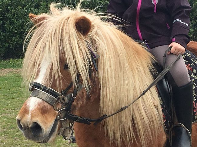 Pony Ride Pony Horse Horse Rider Horse Riding Mammal Domestic Animals Animal Themes Working Animal One Person Bridle One Animal Mane Herbivorous Outdoors Day Livestock Close-up Real People Low Section